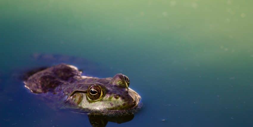 La fable de la grenouille